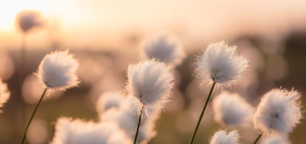 Tupasvilloja kuvattuna auringonlaskussa