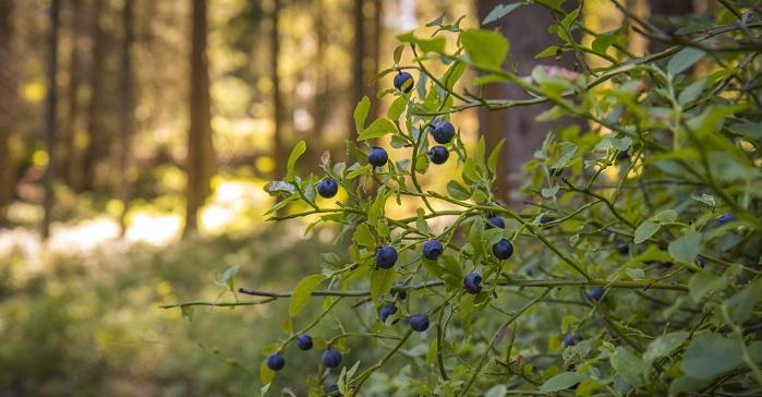 Mustikanvarpu metsässä